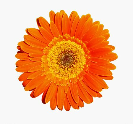 Flower of an orange gerber, isolated on white photo