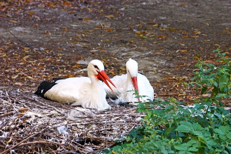 Two storks lay in the nest photo