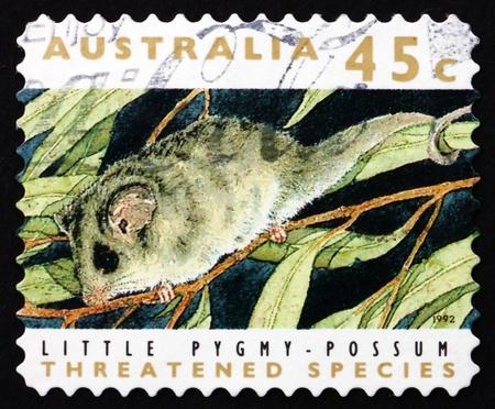possum: AUSTRALIA - CIRCA 1992: a stamp printed in the Australia shows Little Pygmy Possum, Cercartetus Lepidus, Marsupial Mammal, circa 1992 Editorial