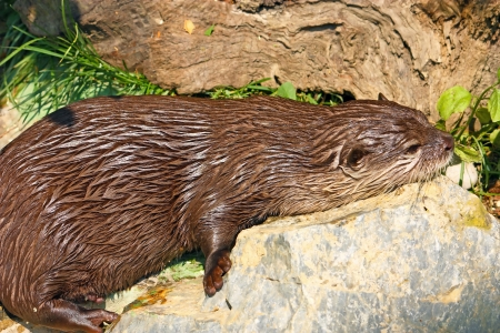 An oriental small-clawed otter taking a break after game Stock Photo - 18732860