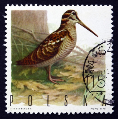 POLAND - CIRCA 1970: a stamp printed in the Poland shows Woodcock, Scolopax Rusticola, Game Bird, circa 1970