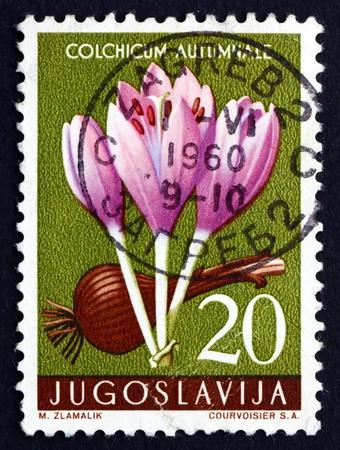 colchicum autumnale: YUGOSLAVIA - CIRCA 1957: a stamp printed in the Yugoslavia shows Autumn Crocus, Colchicum Autumnale, Flower, circa 1957