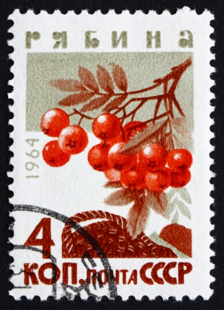 sorbus aucuparia: RUSSIA - CIRCA 1964: a stamp printed in the Russia shows Mountain Ash, Rowan, Sorbus Aucuparia, Deciduous Tree, circa 1964
