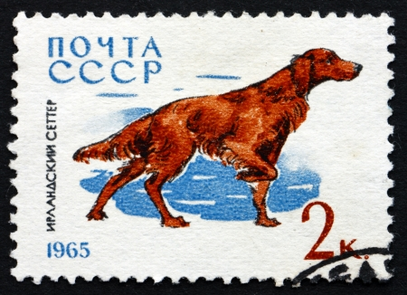 RUSSIA - CIRCA 1965: a stamp printed in the Russia shows Irish Setter, Breed of Dog, circa 1965