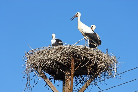 Three storks lay in the nest on power pole photo