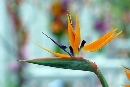 Bird of paradise, strelitzia reginae, beautiful flower photo