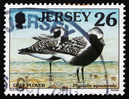 pluvialis: JERSEY - CIRCA 1998: a stamp printed in the Jersey shows Grey Plover, Pluvialis Squatarola, Bird, circa 1998 Editorial