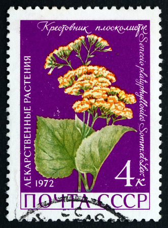 senecio: RUSSIA - CIRCA 1972: a stamp printed in the Russia shows Groundsel, Senecio Platyphylloides, Medicinal Plant, circa 1972