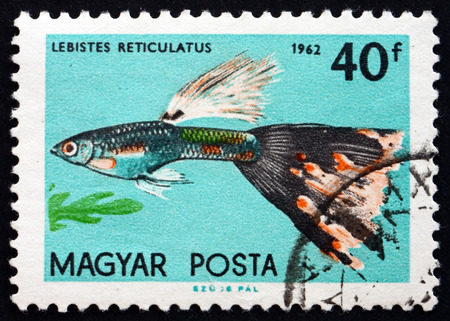 HUNGARY - CIRCA 1962  a stamp printed in the Hungary shows Guppy, Lebistes Reticulatus, Tropical Fish, circa 1962 Stock Photo - 26878453