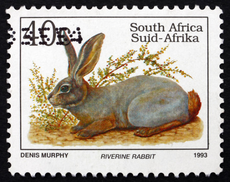 SOUTH AFRICA - CIRCA 1993: a stamp printed in South Africa shows Riverine Rabbit, Bunolagus Monticularis, is one of Most Endangered Mammals in the World, circa 1993