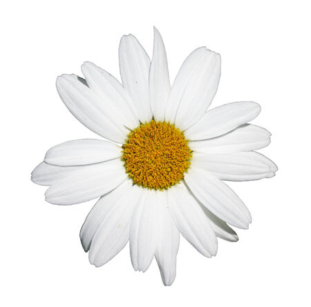 shasta daisy: Flower of shasta daisy isolated on white