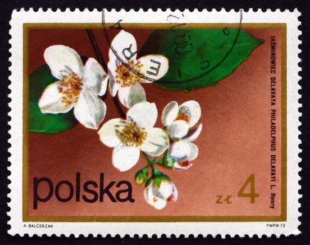 philadelphus: POLAND - CIRCA 1972: a stamp printed in the Poland shows Mock Orange, Philadelphus Delavayi, Deciduous Shrub, Flowering Plant, circa 1972