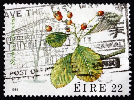 deciduous tree: IRELAND - CIRCA 1984: A stamp printed in Ireland shows Irish Whitebeam, Sorbus Hibernica, Deciduous Tree, circa 1984 Editorial