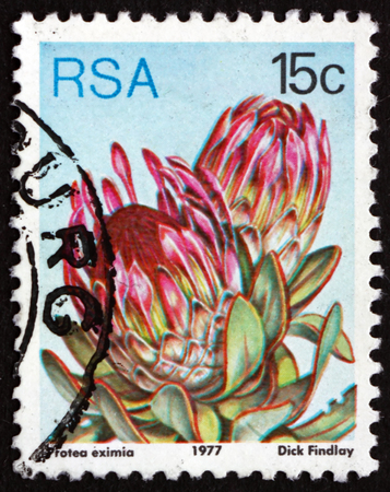 broadleaf: SOUTH AFRICA - CIRCA 1977: a stamp printed in South Africa shows Broad-leaf Sugarbush, Protea Eximia, Flowering Plant, circa 1977 Editorial