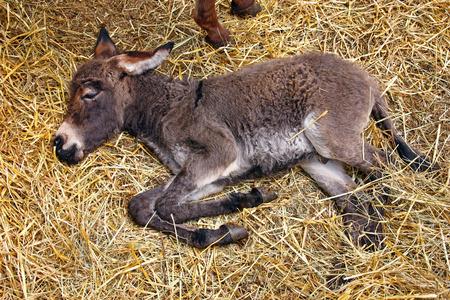 baby ass: Little donkey foal sleeping on straw