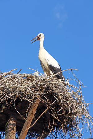 power pole: Stork in the nest on top of the power pole