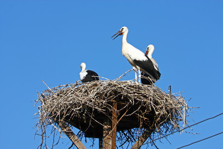 power pole: Storks in the nest on power pole