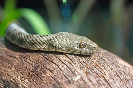 natrix: The dice snake, natrix tessellata, is a nonvenomous snake, close-up