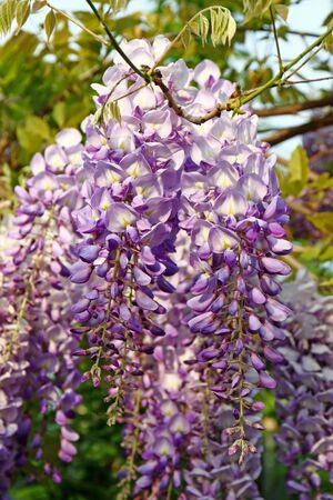 Flower of wisteria, wisteria sinensis, genus of flowering plants