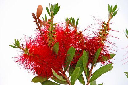 Red bottlebrush flower (callistemon). Plant is endemic to Australia