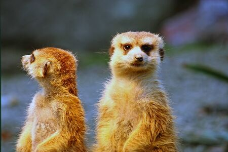 Two meerkats watching over their family in zoo