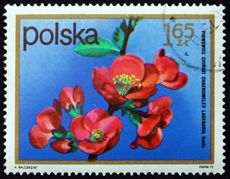 POLAND - CIRCA 1972: a stamp printed in Poland shows Chinese Quince, Pseudocydonia Sinensis, Semi-evergreen Tree, circa 1972