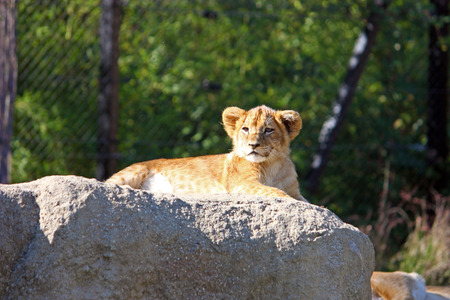 stone lion: Lion cub resting on the big stone, photographed at the zoo Stock Photo