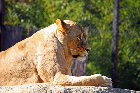 stone lion: Lioness resting on the big stone. Stock Photo