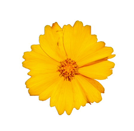 Flower of star tickseed, isolated on white background