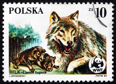 POLAND - CIRCA 1985: a stamp printed in the Poland shows Wolf, Canis Lupus, Endangered Wildlife, circa 1985 Editorial