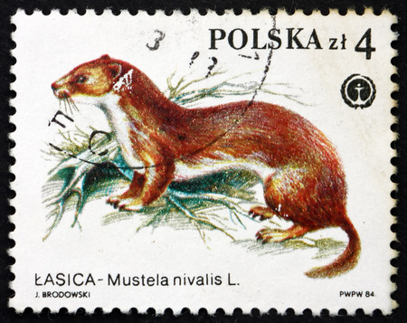 POLAND - CIRCA 1984: a stamp printed in the Poland shows Weasel, Mustela Nivalis, Protected Animal, circa 1984