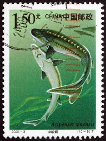 CHINA, PEOPLE'S REPUBLIC OF - CIRCA 2000: a stamp printed in the China shows Chinese Sturgeon, Acipenser Sinensis, Fish, circa 2000