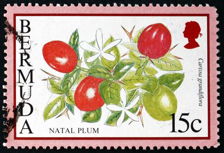 BERMUDA - CIRCA 1994: a stamp printed in Bermuda shows natal plum, carissa grandiflora, is a shrub native to South Africa, circa 1994