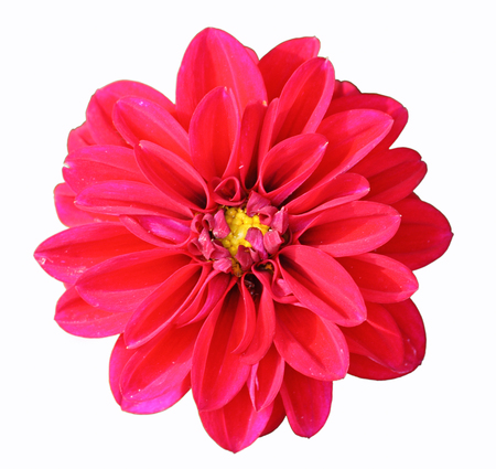 Flower of red dahlia, isolated on white closeup