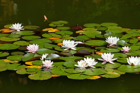 Flowers of water lily in a pond
