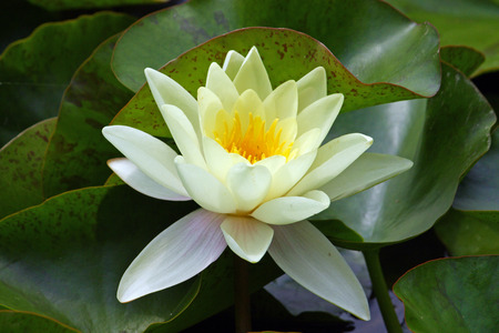 Flower of yellow water lily in a pond