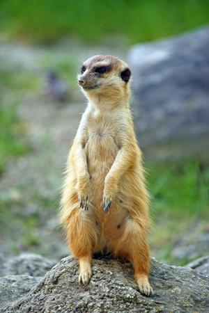 Meerkat watching over his family Stock Photo