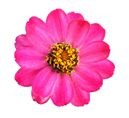 Colorful pink zinnia flower isolated on white background, closeup