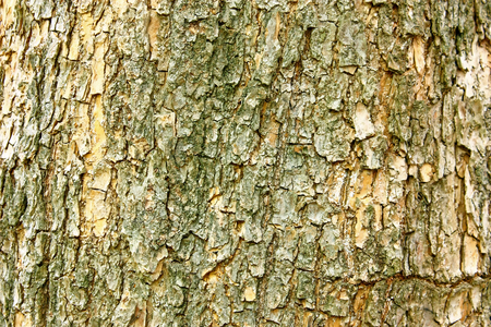 Close view of a bark of an old tree