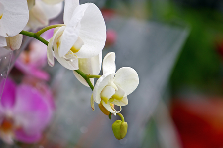 Branch of white orchid flowers