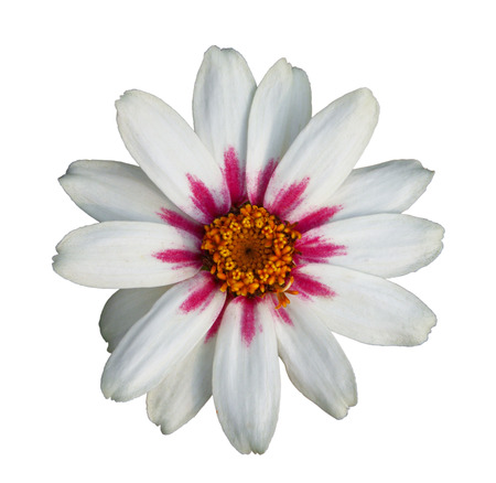 Colorful white zinnia flower isolated on white background, closeup