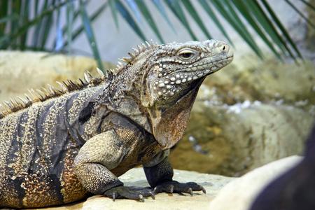 Cuban rock iguana (cyclura nubila) is a species of lizard of the iguana family