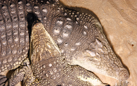 Two crocodiles, closeup