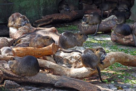 Nutria, myocastor coypus, family of nutrias sitting on the wood