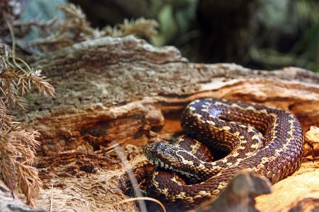 Karst meadow viper, vipera ursinii macrops, is a venomous viper