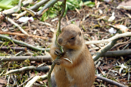 Black-tailed prairie dog, cynomys ludovicianus, is a rodent found in the Great Plains of North America Stock Photo