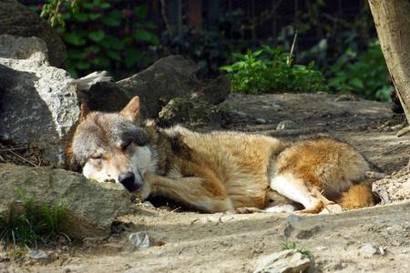 Eurasian wolf, canis lupus lupus