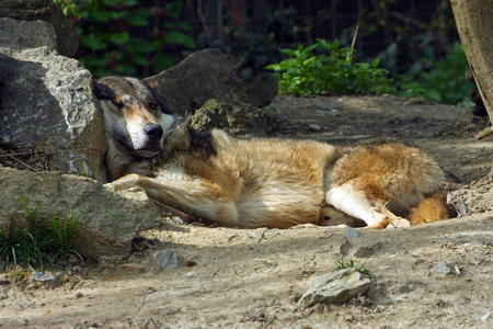 Eurasian wolf, canis lupus lupus, lying in the shadows of the tree