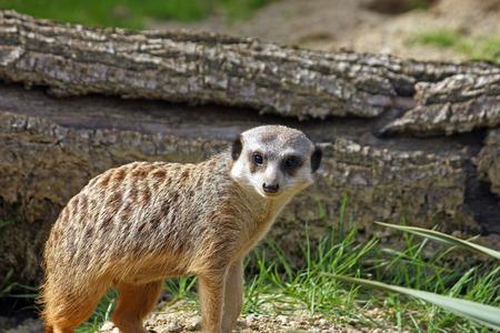 Meerkat, suricata suricatta, watching over his family Stock Photo