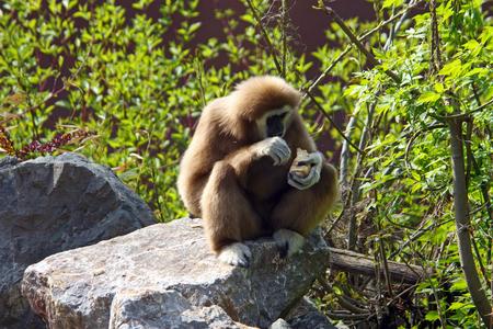Lar gibbon, hylobates lar, is an endangered primate in the gibbon family Stock Photo